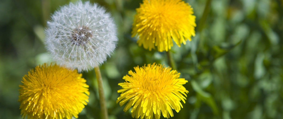 tarassaco-fiore-depurazione